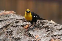 Yellow headed blackbirds Stock Photo