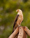 Yellow-headed Caracara Stock Photography