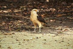 Yellow-headed Caracara in the forest leaves Stock Photos