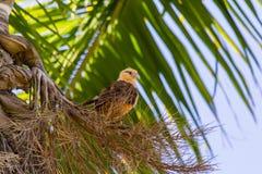 Yellow headed Caracara in Palm tree Royalty Free Stock Image