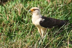 Yellow-headed Caracara standing in the grass Royalty Free Stock Photos