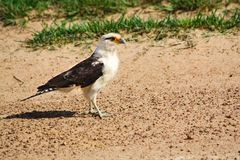 Yellow-headed Caracara standing on the shore Stock Photos
