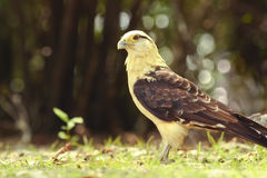 Yellow-headed Caracara on a sunlit clearing. Yellow-headed Caracara standing on a sunlit clearing royalty free stock image