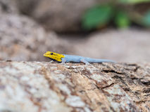 Yellow-headed Dwarf Gecko Stock Photo
