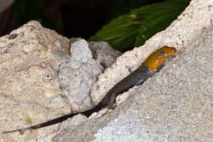 Yellow-headed gecko. Royalty Free Stock Images