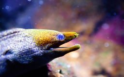 Yellow Headed Moray Eel stock photo
