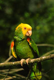 Yellow Headed Parrot Royalty Free Stock Images
