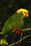 Yellow Headed Parrot Stock Photo