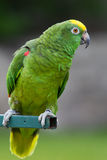 Yellow Headed Parrot Royalty Free Stock Photos