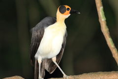 Yellow-headed Picathartes Royalty Free Stock Image