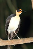 Yellow-headed Picathartes Royalty Free Stock Photo