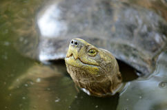 Yellow-headed temple turtle Royalty Free Stock Photo