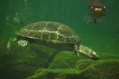 Yellow-headed temple turtle Heosemys annandalii.  stock photography