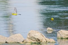 Yellow-headed Wagtail. Two Yellow-headed Wagtail fly in river. Scientific name: Motacilla citreola Stock Images