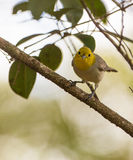 Yellow-headed Warbler on a branch Royalty Free Stock Images