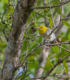Yellow-headed Warbler on a branch Royalty Free Stock Photo