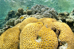 Yellow healthy coral reef. Coral reef in the Red Sea in clear blue water Stock Image