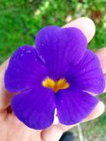 Yellow Heart in Purple Flower. A really nice purple flower with a yellow heart in the middle of it, summer in Costa Rica. 30/01/2018 Stock Images