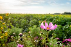 Yellow hearted pink garden cosmos flower at the edge of a Dutch royalty free stock photo