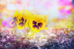 Yellow heartsease flowers on flowers beet on light  blurred garden background. Toned Stock Photography