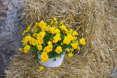 Yellow heartsease on hay. Yellow heartsease flowers in white pot on hay background Stock Photography