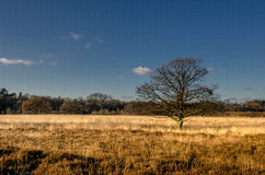 Yellow heather. In Drenthe, Holland Royalty Free Stock Photos