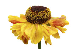 Yellow helenium Royalty Free Stock Photo