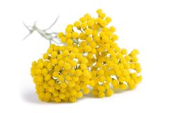 Yellow Helichrysum Flowers Royalty Free Stock Photos