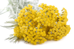 Yellow Helichrysum Flowers Royalty Free Stock Image