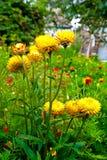 Yellow helichrysum paper daisy strawflower. Stock Photography