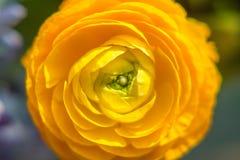 Yellow helichrysum Stock Image