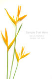 Yellow Heliconia. Flower on white background Stock Photography