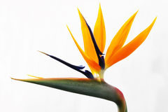 Yellow heliconia Stock Photos