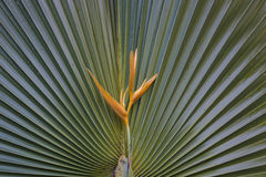 Yellow Heliconia on Fan Palm Royalty Free Stock Photo