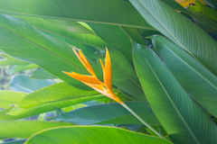 Yellow Heliconia  flower Royalty Free Stock Photos