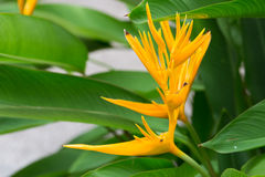 Yellow heliconia Stock Images