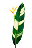 Yellow heliconia flower isolated on white background Royalty Free Stock Images