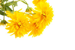 Yellow heliopsis. Beautiful yellow perennial daisy : heliopsis or false sunflower. White Background Stock Photography