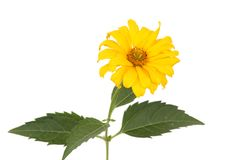 Yellow heliopsis Royalty Free Stock Photos