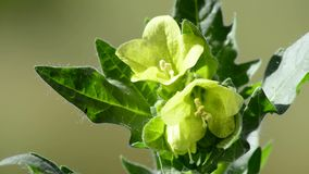 Yellow henbane stock video footage