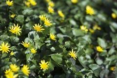 Yellow herbal flowers Royalty Free Stock Photos