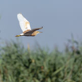 Yellow heron in flight. Yellow heron Ardeola ralloides in flight over the swamp Royalty Free Stock Image