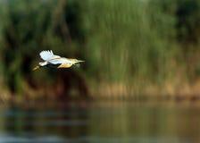 Yellow heron in flight Royalty Free Stock Image
