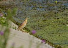 An yellow heron on the water`s edge stock photo