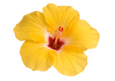 Yellow hibiscus Stock Photos