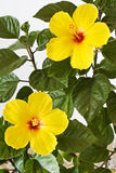 Yellow Hibiscus Stock Photography