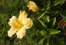 Yellow hibiscus. Yelow hibiscus in the garden stock image