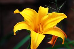A yellow hibiscus in a beautiful tropical garden. On a sunny afternoon Royalty Free Stock Photo