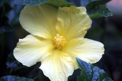 Yellow Hibiscus. Big yellow Hibiscus at the Botanical Gardens Royalty Free Stock Images