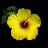 Yellow Hibiscus on Black Royalty Free Stock Image